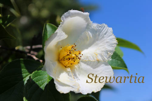 stewartia shade tree