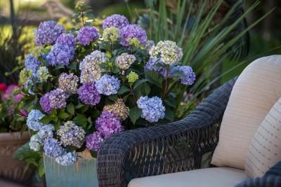 dramatic hydrangeas in container gardening