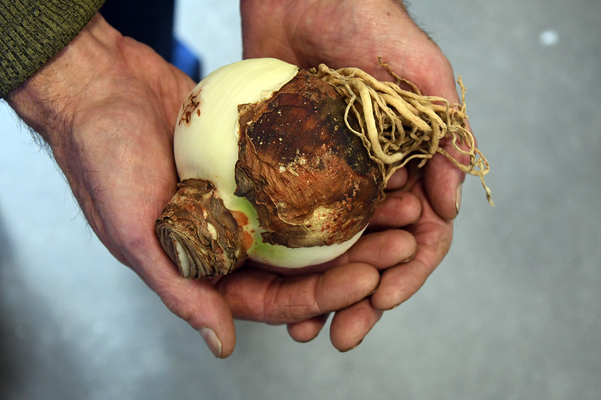 man's hands cupped holding amaryllis bulb